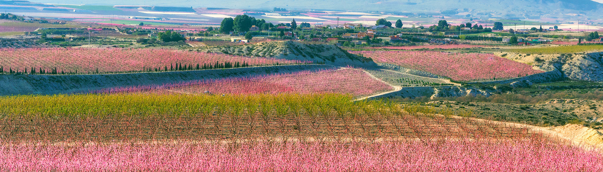 Floración de Cieza - foto 3