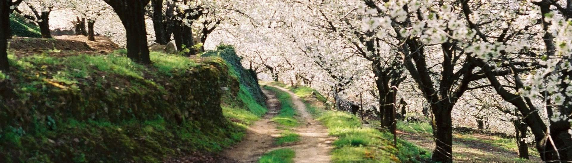 Floración Valle del Jerte